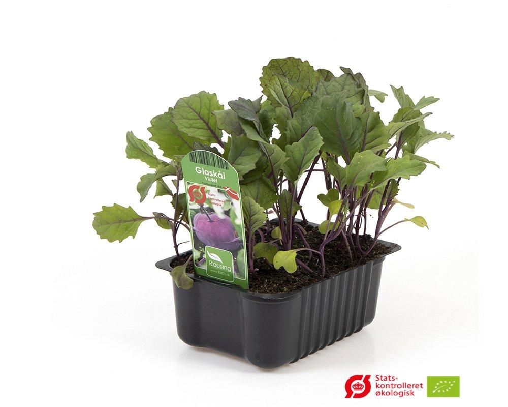 Glaskål, Lilla - Brassica oleracea var. gongylodes.