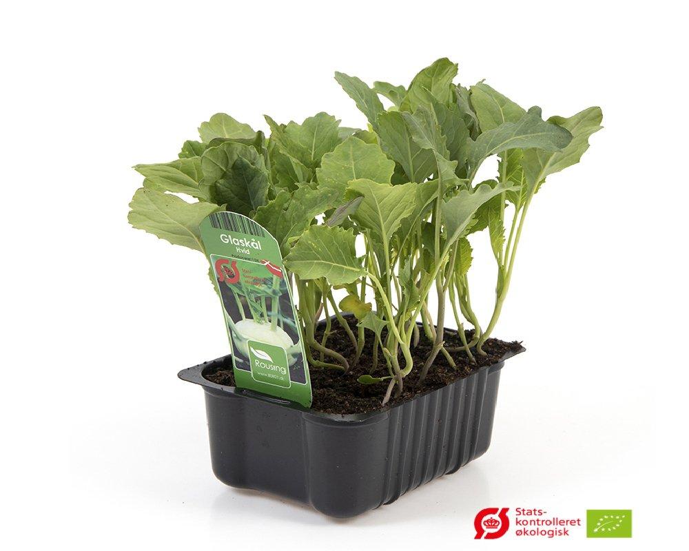 Glaskål, Hvid - Brassica oleracea var. gongylodes.