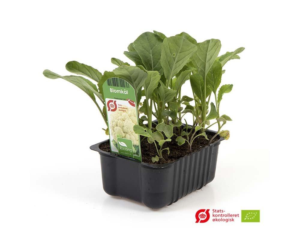 Blomkål - Brassica oleracea var. botrytis