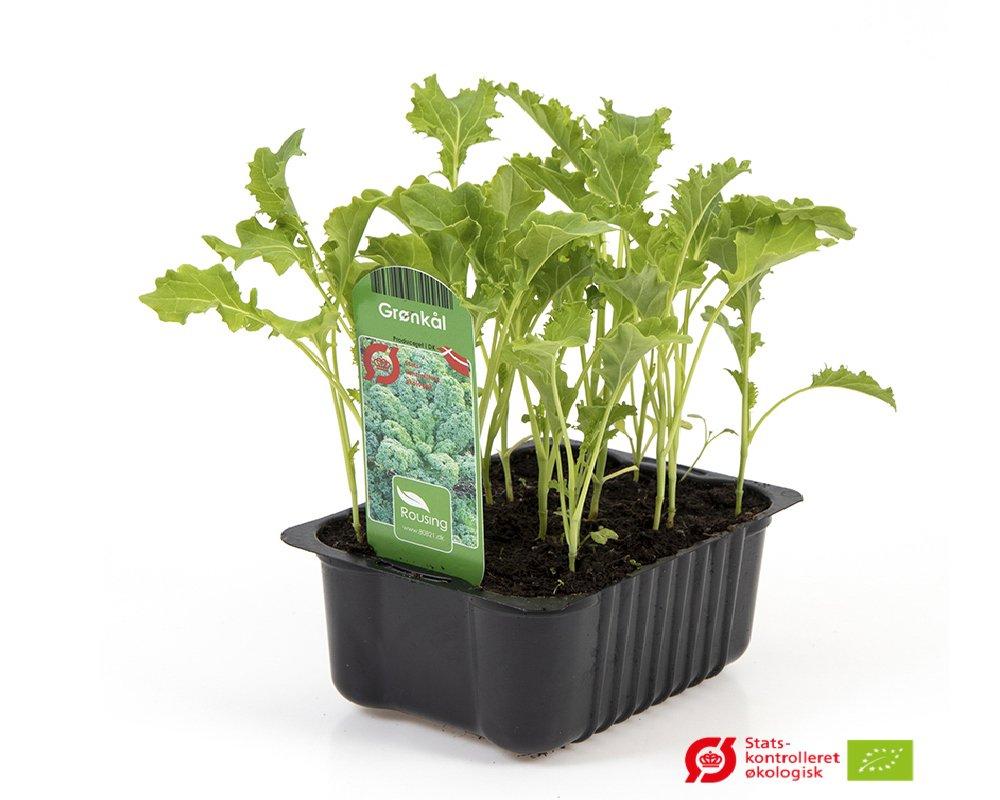 Grønkål - Brassica oleracea var. Capitata