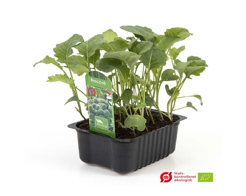 Broccoli - Brassica olecracea