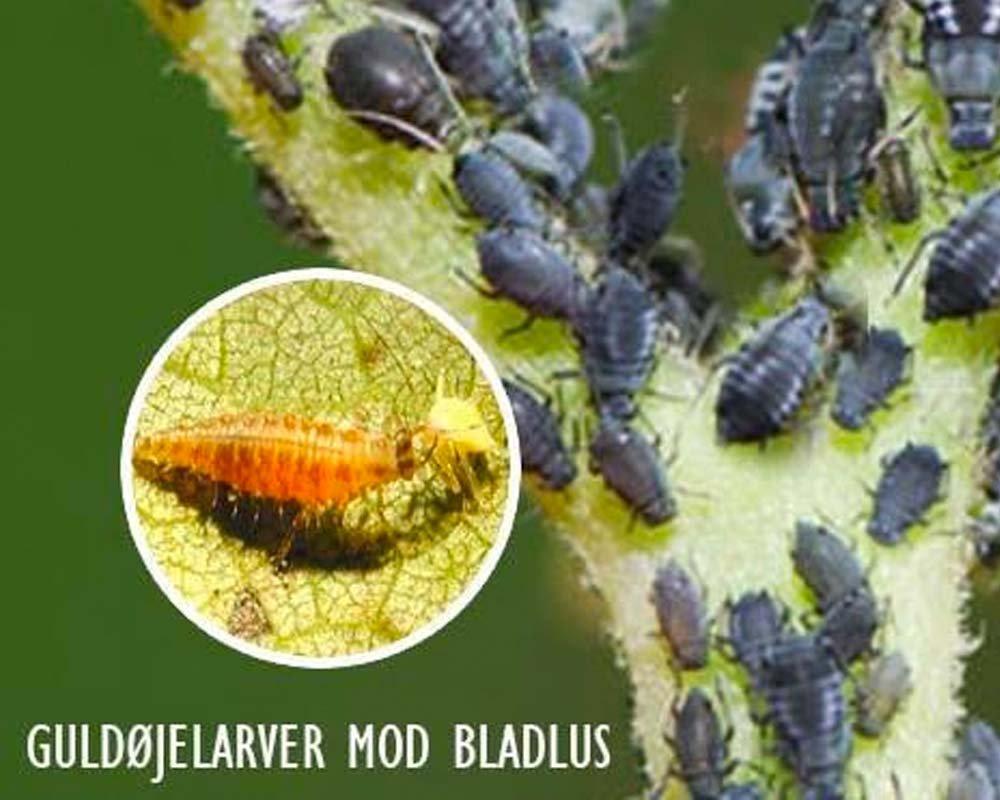 Nyttedyr - Guldøjelarver mod bladlus, spindemider m.fl.