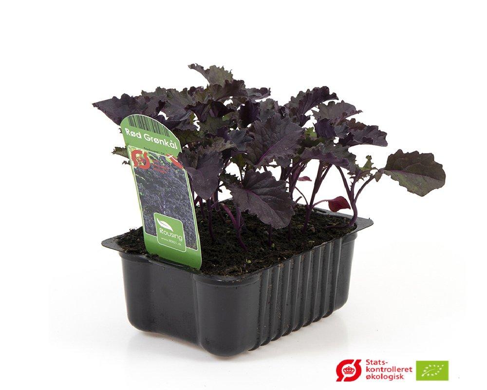 Grønkål, Rød - Brassica oleracea var. Acephala