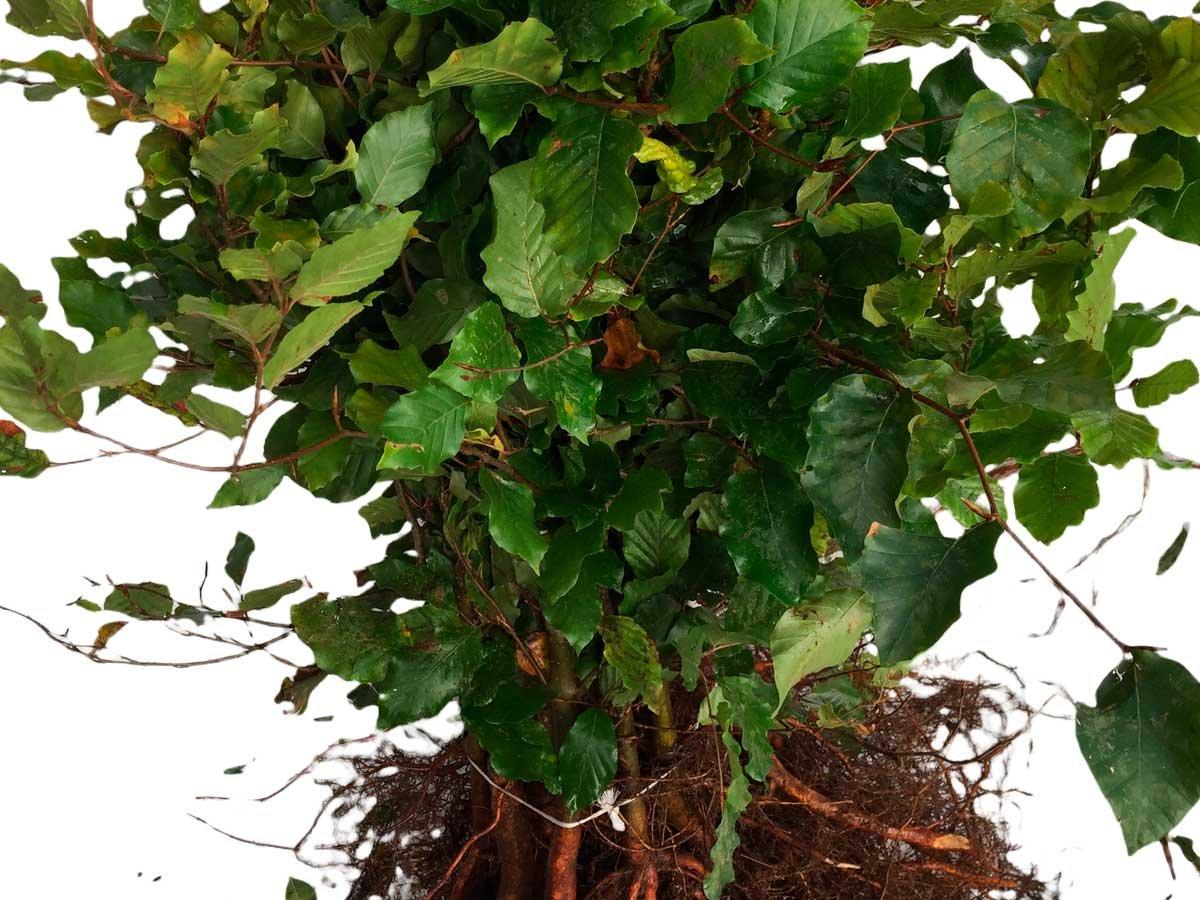 Fagus Sylvatica - Alm. bøg 50/80 cm